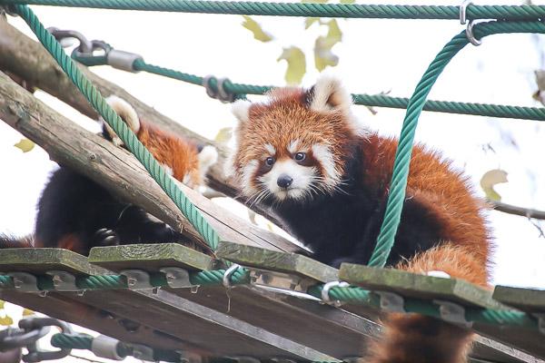 lesser-panda1-063