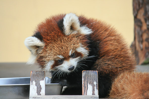 lesser-panda1-064