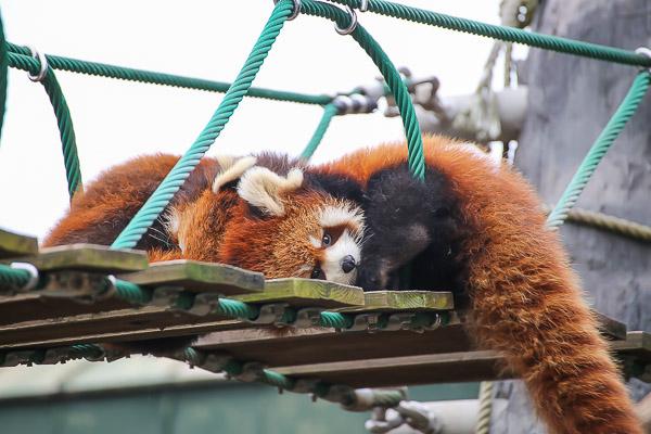 lesser-panda2-002
