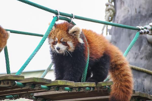 lesser-panda2-003