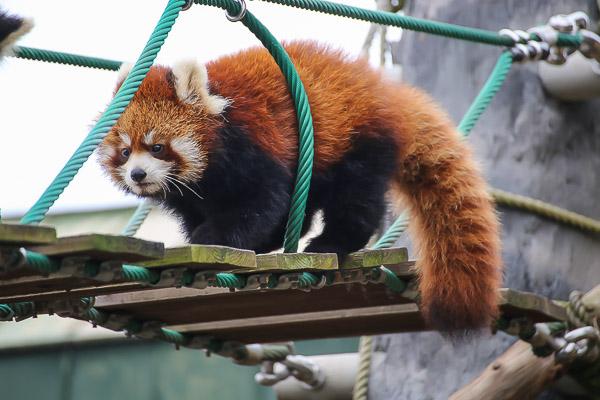 lesser-panda2-004
