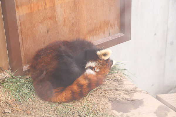 lesser-panda2-005