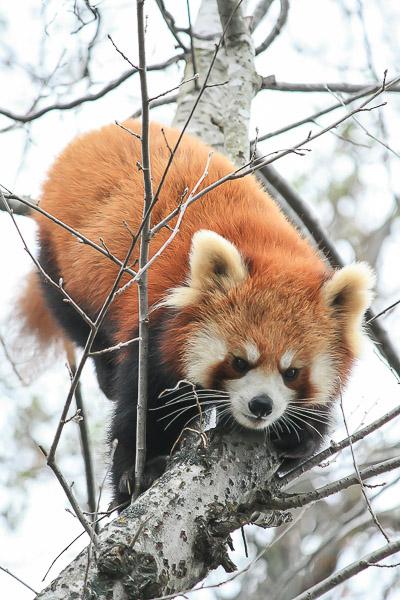 lesser-panda2-006