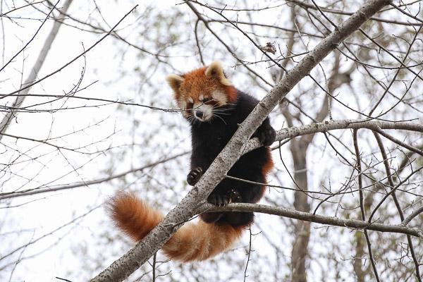 lesser-panda2-007