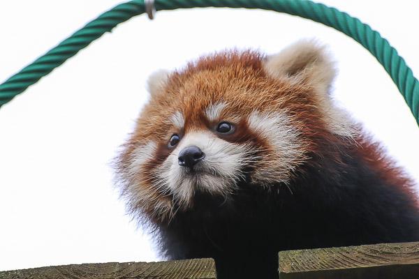 lesser-panda2-013