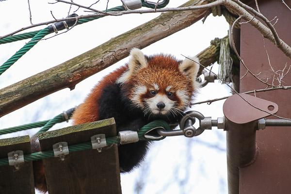 lesser-panda2-014