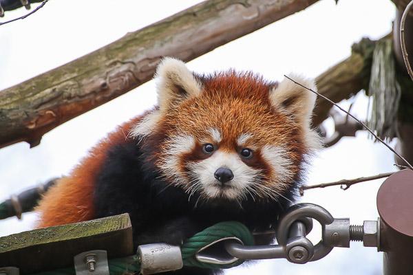 lesser-panda2-016