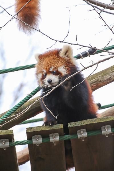 lesser-panda2-018