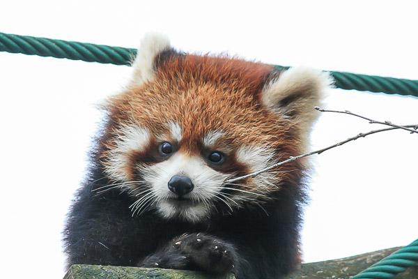 lesser-panda2-020