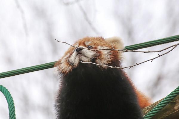 lesser-panda2-021