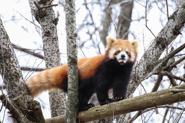 lesser-panda2-023