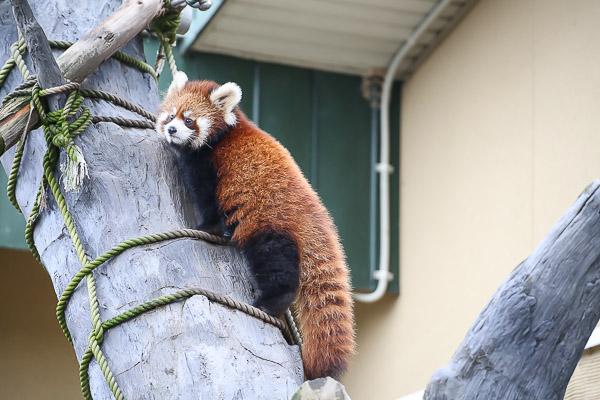 lesser-panda2-024