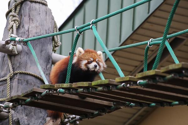 lesser-panda2-025