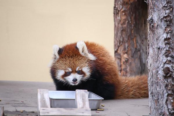 lesser-panda2-027