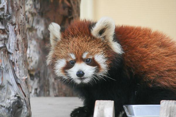 lesser-panda2-028