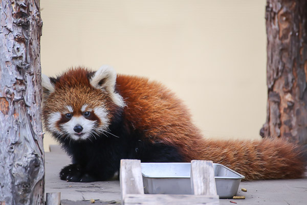 lesser-panda2-029