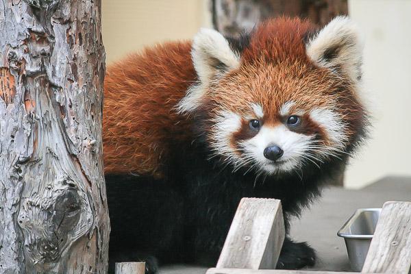 lesser-panda2-030