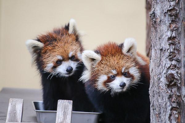 lesser-panda2-032