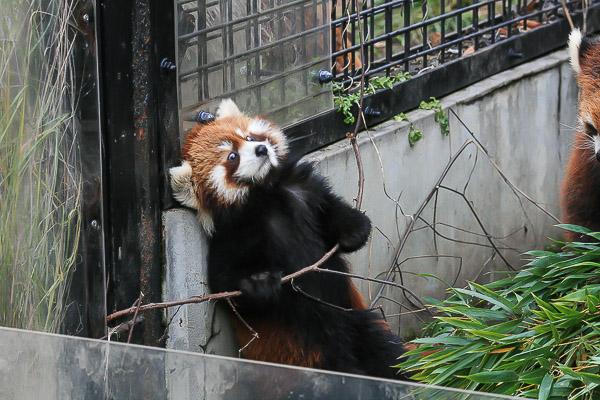 lesser-panda2-034