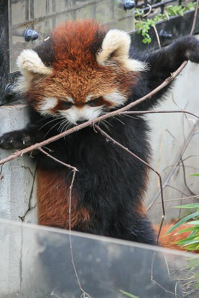 lesser-panda2-035