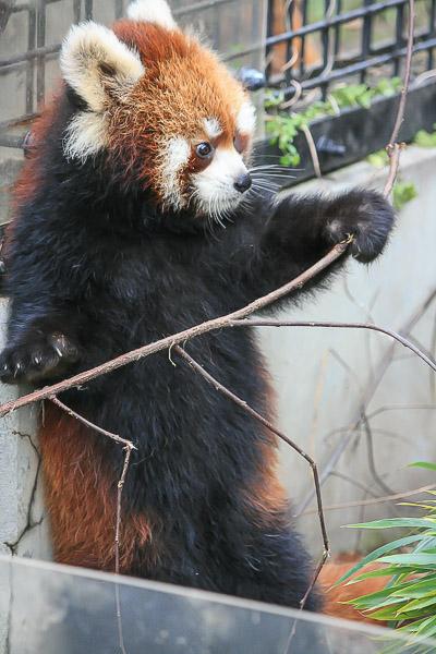 lesser-panda2-036