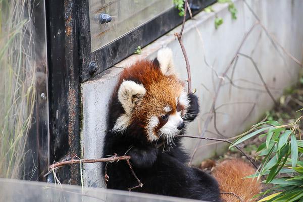 lesser-panda2-037