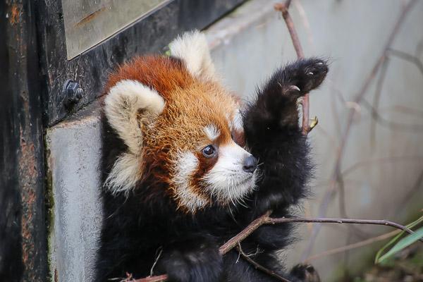 lesser-panda2-038