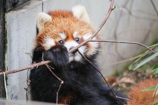 lesser-panda2-039