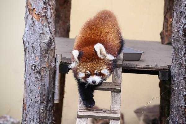 lesser-panda2-041