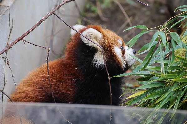 lesser-panda2-042