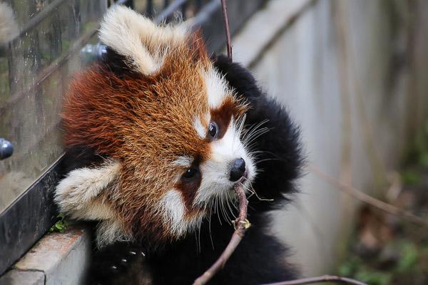 lesser-panda2-043