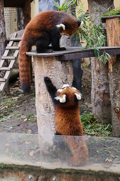 lesser-panda2-044