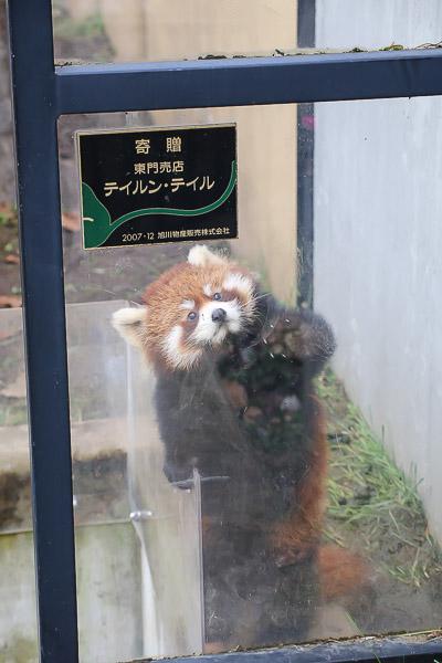 lesser-panda2-045