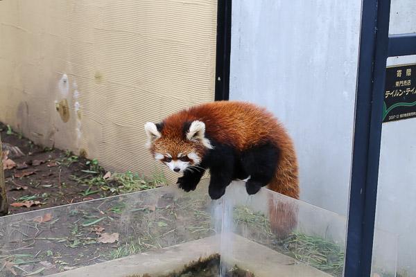 lesser-panda2-046