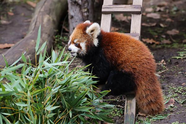 lesser-panda2-047