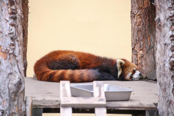 lesser-panda2-048