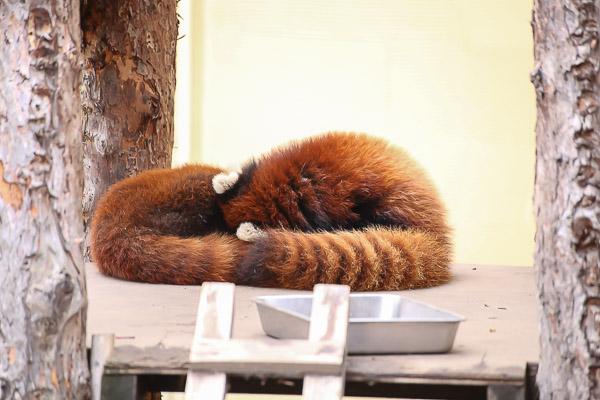 lesser-panda2-049