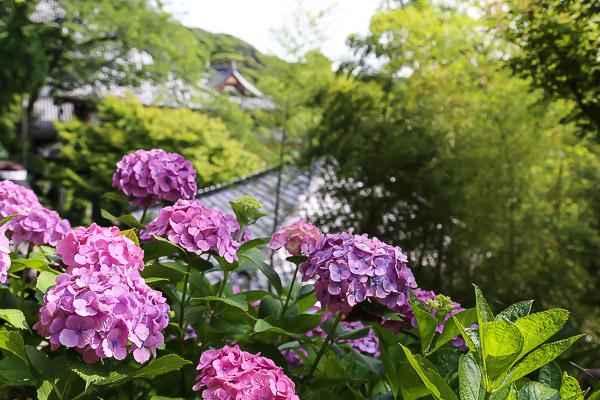 kamakura-ajisai-022