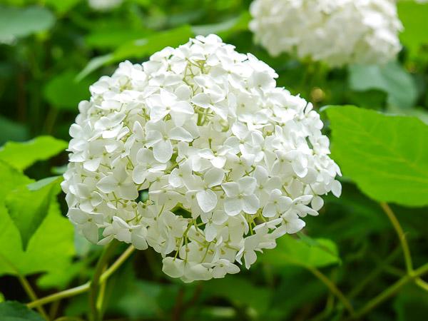 kamakura-ajisai-033