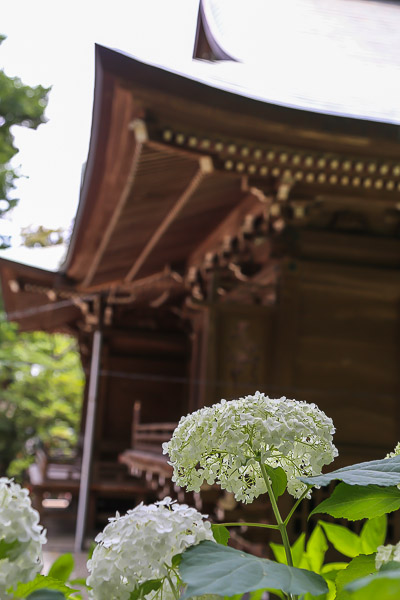 kamakura-ajisai-034