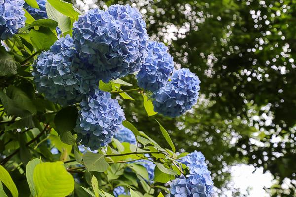 kamakura-ajisai-057