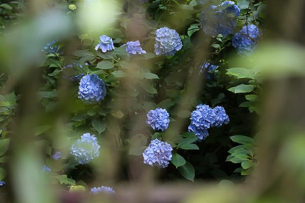 kamakura-ajisai-064