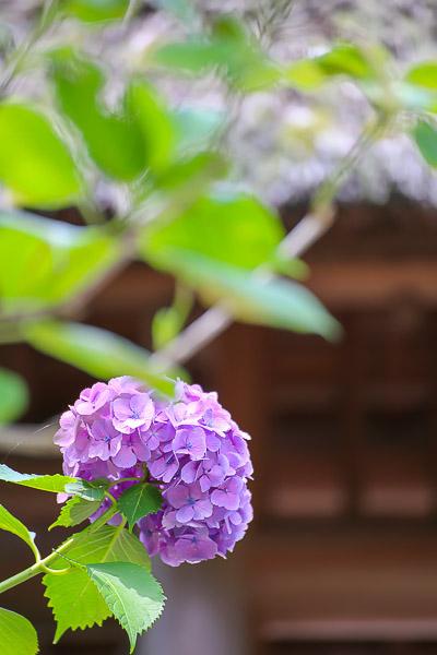 kamakura-ajisai-083