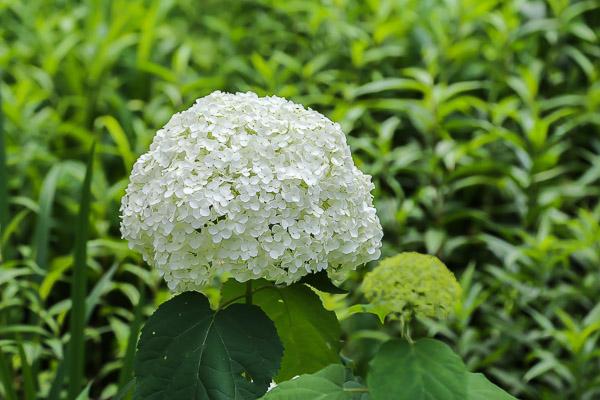 kamakura-ajisai-086
