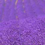 lavender-000