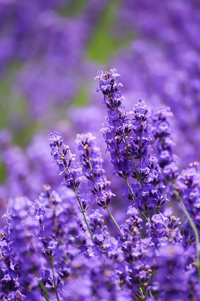 lavender-009