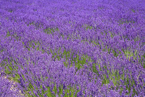 lavender-014