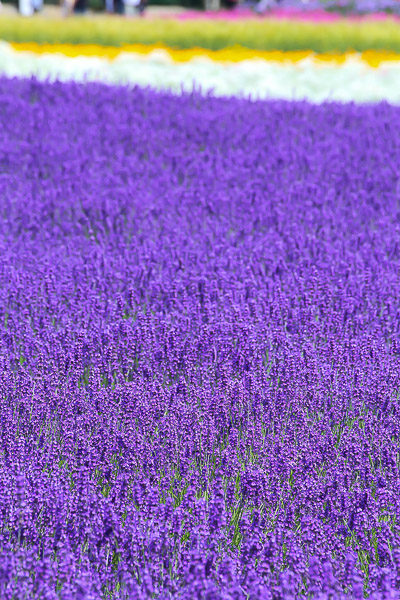 lavender-015