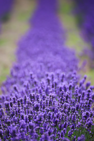 lavender-016