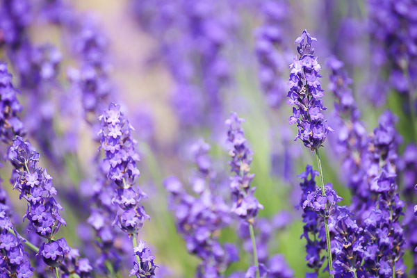 lavender-017